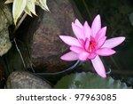 Pink Lotus Flower In Water At...