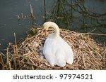 Swan on nest - stock photo