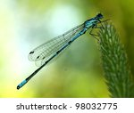 Small photo of Northern Bluet resting on agrostis