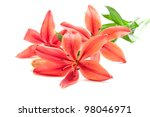 Beautiful Fresh Pink Red Lily...