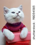Stock photo cat of the british breed rare coloring a silvery chinchilla 98054585