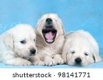 Three Puppies Of Cavalier King...