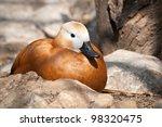 Beautiful duck - stock photo