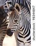 Stock photo a burchells zebra foal stands close to its mother 98344847