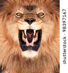 Stock photo direct frontal shot of a lion roaring 98397167