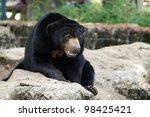malayan sun bear - stock photo