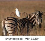 A Cattle Egret Sitting On The...