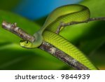 Green Mamba With Clipping Path