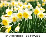 White Narcissus In A Group...