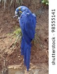 Closeup Of Hyacinth Macaw ...