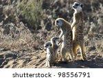 Meerkat Family In Kgalagadi