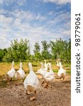 Flock Of White Geese Running O...