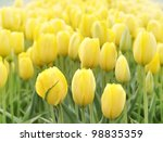 Field Of Yellow Tulips , Close Up - stock photo