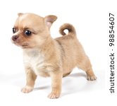 Chihuahua Puppy  In Front Of A...