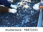 Selection of the best grapes to make premium wines is done by hand.  Here pinot noir grapes are selected for wine making. - stock photo