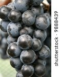 Syrah Grapes - stock photo
