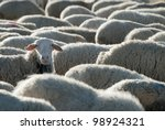 Sheep grazing in the field in a ...