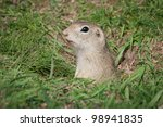 European ground squirrel / Spermophilus citellus - stock photo