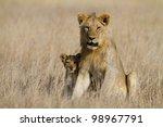 Lion big brother babysitting cub, Serengeti National Park, Tanzania, East Africa - stock photo