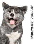 japanese grey akita inu dog...   Shutterstock . vector #99038609