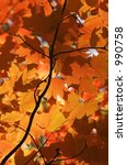 fall color   maple leaves and... | Shutterstock . vector #990758