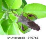 Western Conifer Seed Bug  ...