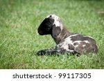 Little sheep - stock photo