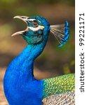 Male Peacock  Peafowl  Portrai...