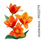 A Flower Of  Liliaceae Tulip...