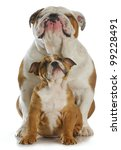 Bulldog Father And Son Sitting...