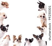 Stock photo isolate a group of chihuahuas looking at the center of picture 99250301