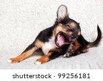 Tiny Chihuahua Puppy Three...