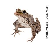 Marsh Frog Isolated On White...
