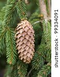 pine cone from picea abies frohburg - stock photo