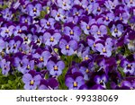 Colorful blue and violet pansy flowers at market - stock photo