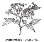 jasmine or jasminum  vintage... | Shutterstock .eps vector #99367751