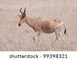 Small photo of Cokes Hartebeest (Alcelaphus buselaphus cokii) in Kenya's Masai Mara