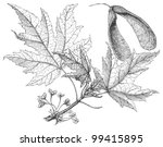 Silverleaf Maple  Acer...