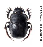 The Scarabaeus    Dung Beetle...
