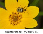 Spotted Cucumber Beetles ...