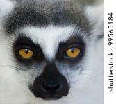 Ring Tailed Lemur Monkey  Lemu...