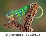 An Ambilobe Panther Chameleon...
