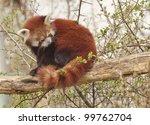 Red Panda Or Shining Cat