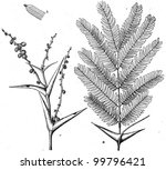 Small photo of Acacia sphaerocephala - Bull's Horn Thorn - an illustration of the encyclopedia publishers Education, St. Petersburg, Russian Empire, 1896