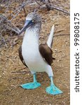 Blue Footed Booby Taking A Ste...