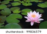 Water Lily  Lotus In Nature