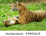 A Tiger And Her Cub Playing On...