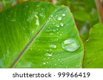 Water Drop On Banana Leaf