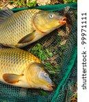 The Common Carp In Fish Net....