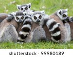 Ring Tailed Lemur  Lemur Catta...